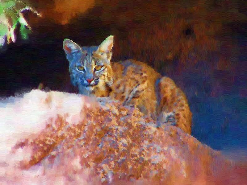 bobcat80012.jpg